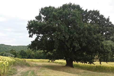 Stejarul înțelept