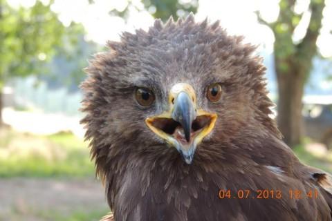 Acvila țipătoare mică, Arlie, revine în România