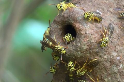 """Veninul de viespi """"omoară"""" cancerul"""