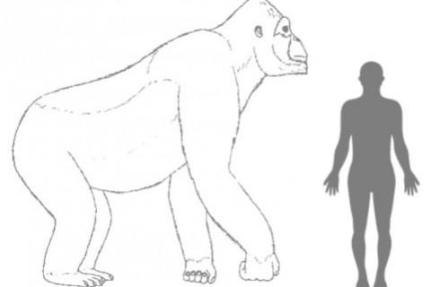 Un King Kong de acum un milion de ani a dispărut pentru că era prea mare